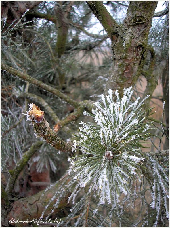 Белые ромашки в белом январе...