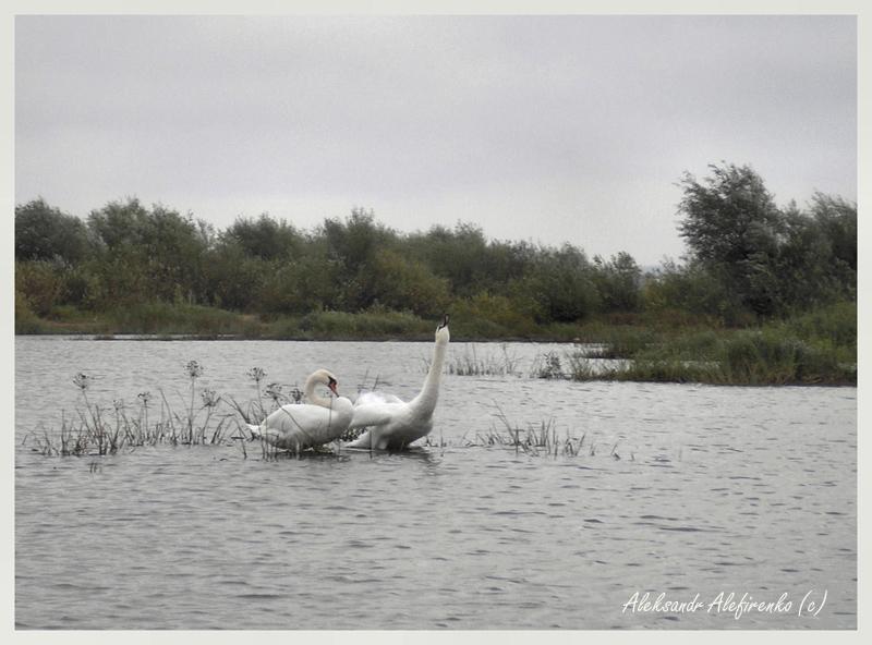 Не стреляйте в белых лебедей...!